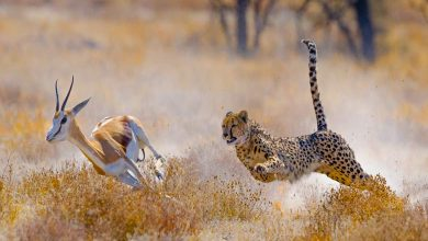 Is cheetah the fastest animal