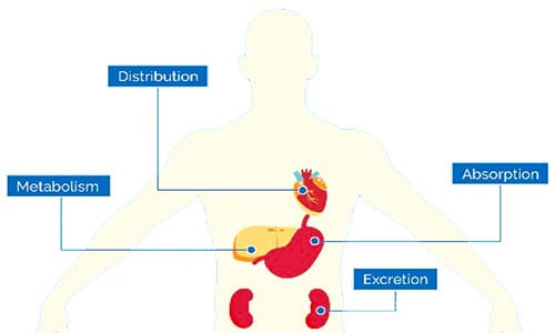 Medicine absorption process in the body