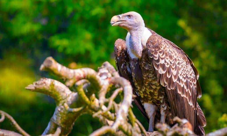 Why do not vultures get sick