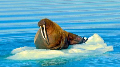 Why do walruses have tusks