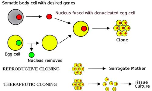 Cloning by somatic cell