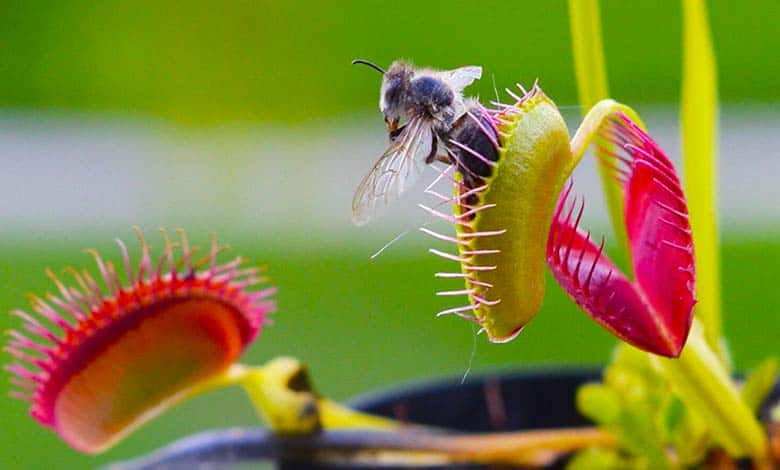 How did plants become carnivorous