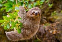 How sloths went from seas to trees