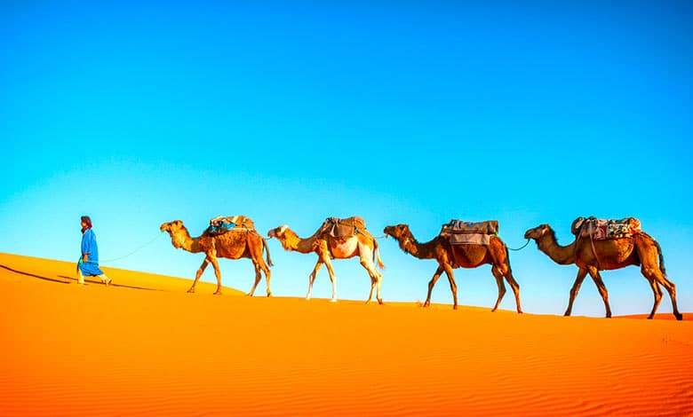 What happened to camels in north america