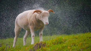Why do not sheep shrink when it rains