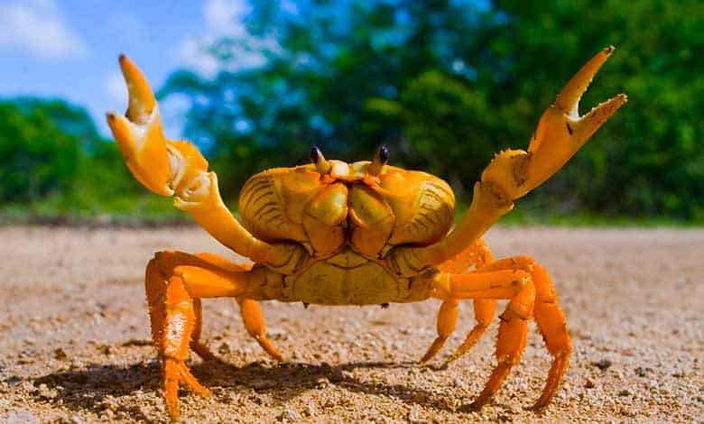 Why do things keep evolving into crabs