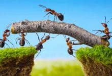How do ants find food